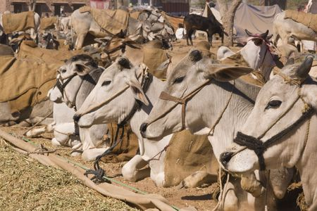 bullock animal: Cattle tethered at the Nagaur Cattle Fair, Rajasthan, India