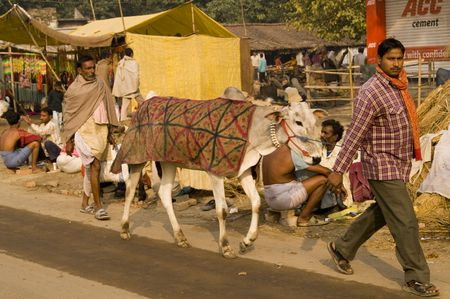 india cow: Bihar, India - November 27, 2007: Indian man walking his prize cow along the road at the Sonepur Cattle Fair, India
