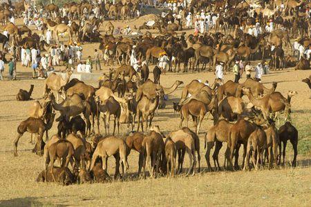as far as the eye can see: Pushkar, India - November 11, 2008: Camels as far as the eye can see at the annual livestock fair in Pushkar, Rajasthan, India.
