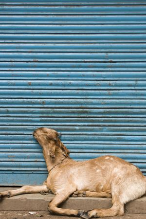Goat lying asleep in front of a blue shutter. Old Delhi, India photo