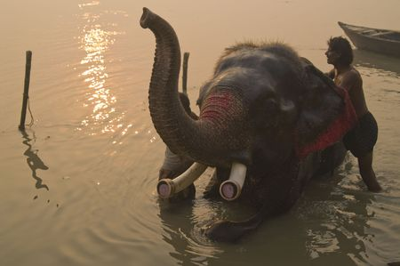 Sonepur, India - November 27, 2007: Mahoot washing his elephant in the river at dawn at the Sonepur Fair in Bihar, India