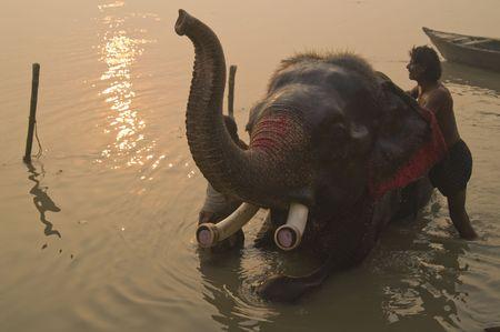 bihar: Sonepur, India - November 27, 2007: Mahoot washing his elephant in the river at dawn at the Sonepur Fair in Bihar, India