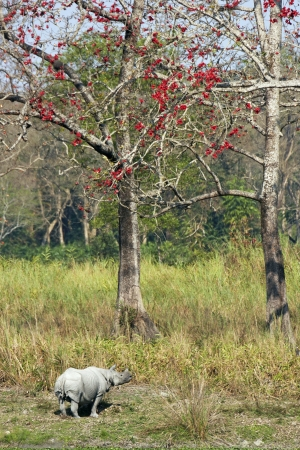 assam: Wild Great Indian One Horned rhinoceros in Kaziranga National Park, Assam, India