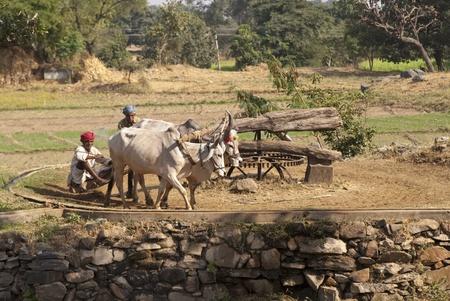 campi�a: Rajasthan rural, India - el 15 de noviembre de 2007: Ganado poder un sistema de riego tradicional en Rajasthan, India rural caminando en c�rculos.