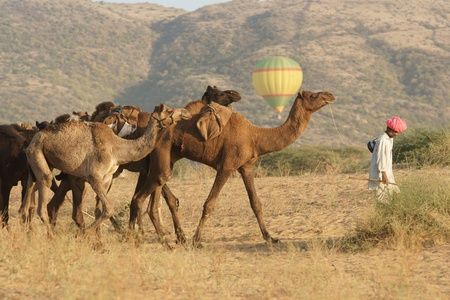 Pushkar, Rajasthan, India -  November 7, 2008: Tribal man leading a group of camels across the desert watched by tourists in a hot air balloon at the annual camel fair in Pushkar, Rajasthan, India.
