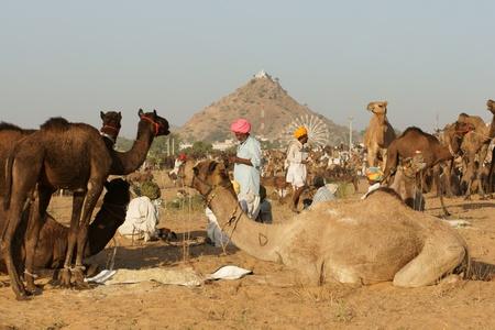 Pushkar, Rajasthan, India -  November 8, 2008: Rural scene of camels and people at the Pushkar fair in Rajasthan India.  Stock Photo - 8526078