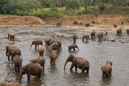 orphanage: Herd of asian elephants bathing in the Maha Oya river at the Pinnawela Elephant Orphanage in Sri Lanka