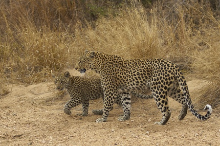 panthera: Female leopard (Panthera pardus) and cub walking along the sandy bed of a dried up seasonal river in Kruger National Park, South Africa Stock Photo