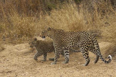 cachorro: Mujer leopardo (Panthera pardus) y el cachorro de caminar por el lecho arenoso de un r�o seco de temporada en el Parque Nacional Kruger, Sud�frica
