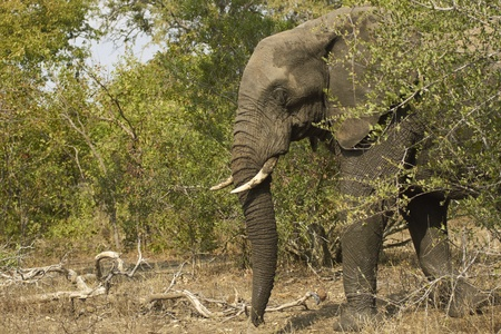 African elephant (Loxodonta africana) in woodland in Kruger National Park, South Africa photo