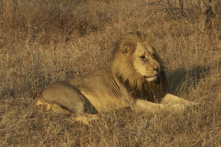 Male African Lion (Panthera leo) in Kruger National Park, South Africa photo