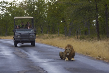 Kruger National Park, South Africa - July 30, 2010: Tourists in a vehicle watch a large male lion lying down on the road in Kruger National Park, South Africa