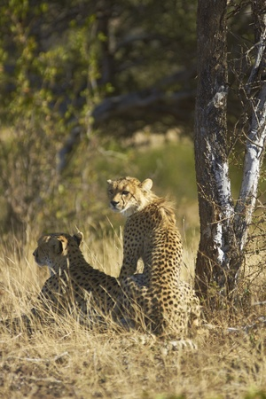 Female Cheetah and cub  Acinonyx jubatus  in Mashuta Game Reserve in Botswana  photo