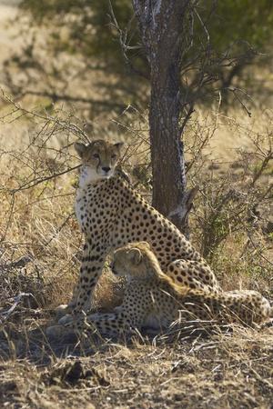 Female Cheetah and cub  Acinonyx jubatus  in Mashuta Game Reserve in Botswana  photo