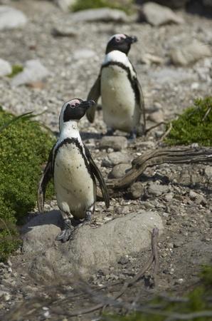 pinguinera: Ping�inos africanos Spheniscus demersus en la bah�a de Betty s colonia de ping�inos de El Cabo Occidental de Sud�frica Foto de archivo