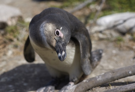 penguin colony: Inquisitive young African Penguin  Spheniscus demersus  at Betty s Bay Penguin Colony in the Western Cape of South Africa Stock Photo