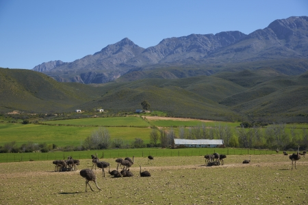 the ostrich: Ostrich farm in the Oudtshoorn region of the Western Cape in South Africa  Stock Photo