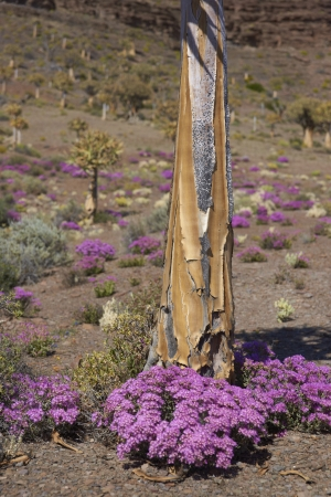 dichotoma: Quiver tree  Aloe dichotoma  surrounded by brightly colored flowers near Nieuwoudtville in the Northern Cape of South Africa