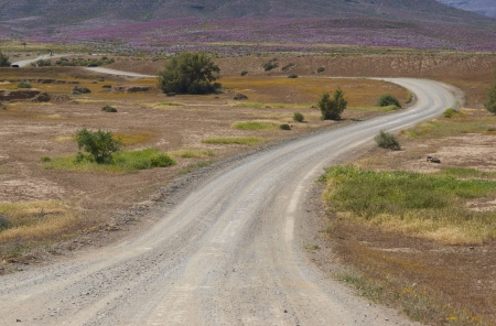 northern cape: Gravel road through the brightly colored flowers near Nieuwoudtville in the Northern Cape of South Africa