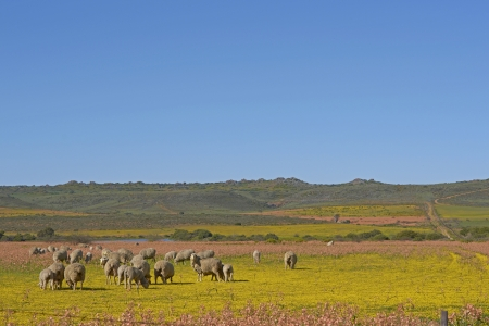Sheep grazing in a flower filled field near Nieuwoudtville in the Northern Cape of South Africa photo