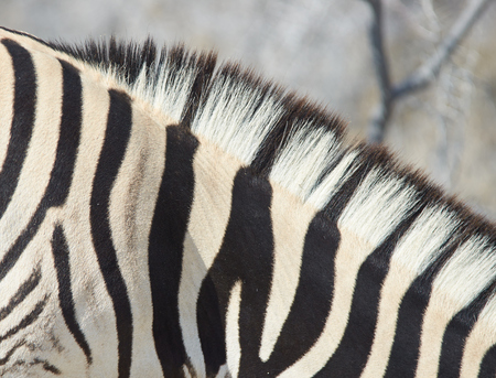 burchell: Close up of the stripes of a Burchell s Zebra  Equus burchellii  in Etosha National Park, Namibia Stock Photo