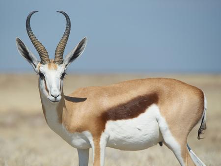 antidorcas: Male springok  Antidorcas marsupialis  in Etosha National Park, Namibia