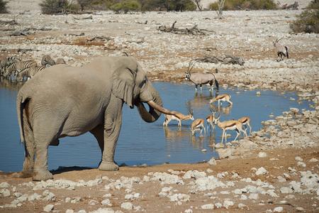 pozo de agua: Los grandes machos de elefante africano Loxodonta africana de beber agua en un agujero en el Parque Nacional de Etosha, en Namibia