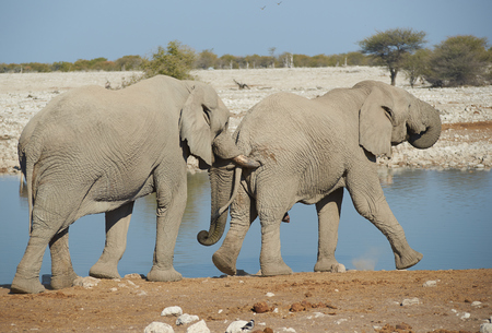 nudging: Large male African Elephant  Loxodonta africana  nudges another from behind with its tusks at a water hole in Etosha National Park in Namibia