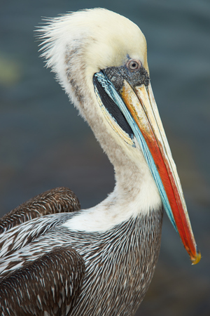 plummage: Portrait of a Peruvian Pelican (Pelecanus thagus) in the fishing harbour at Arica in Northern Chile