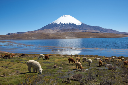 Alpacas grazing on the shore of Lake Chungara at the base of Parinacota Volcano, 6,324m high, in the Altiplano of northern Chile. photo