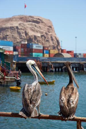 plummage: Pel�canos peruanos (Pelecanus thagus) de pie en una barandilla en el puerto pesquero de Arica en el norte de Chile