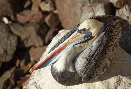 plummage: Peruvian Pelican (Pelecanus thagus) in the fishing harbour at Arica in Northern Chile