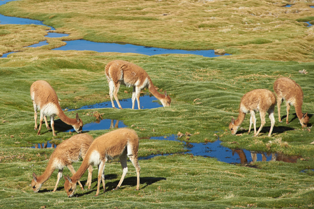 vicuna: Family group of vicuna (Vicugna vicugna) grazing on coarse green grass covering a wetland area