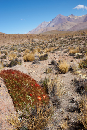 national plant: Red and yellow flowering cactus plant (Cumulopuntia boliviana) in the high altitude desert of Lauca National Park, northern Chile