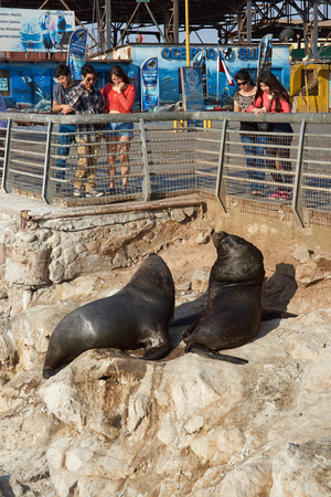 flavescens: Arica, Chile - October 12, 2014: People watching wild South American Sea Lions (Otaria flavescens) in the fishing harbour at Arica in northern Chile Editorial