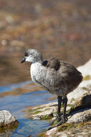 coot: Chick of Giant Coot (Fulica gigantea) standing on the shore of Lake Chungara in the Altiplano of northern Chile.