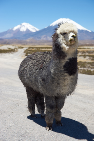 domesticated: Alpaca in Lauca National Park, northern Chile. Alpaca are domesticated animals kept for their fine wool and meat. In the background are the volcanoes Parinacota (6342m) and Pomerape (6240m). Stock Photo