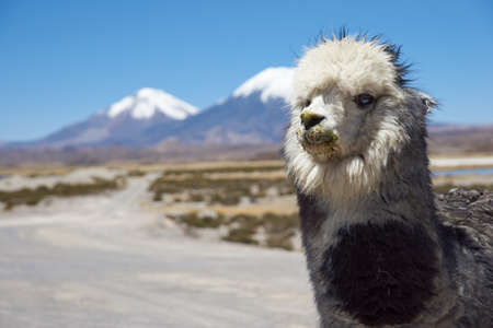 Alpaca in Lauca National Park, northern Chile. Alpaca are domesticated animals kept for their fine wool and meat. In the background are the volcanoes Parinacota (6342m) and Pomerape (6240m). photo