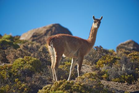 imperious: Lone vicuna (Vicugna vicugna) in Lauca National Park, northern Chile