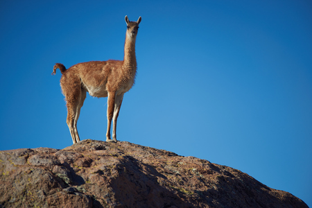 rock wool: Lone vicuna (Vicugna vicugna) standing on a rock in Lauca National Park, northern Chile