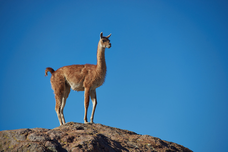 imperious: Lone vicuna (Vicugna vicugna) standing on a rock in Lauca National Park, northern Chile