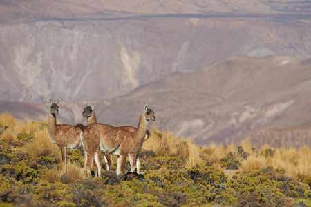 imperious: Group of vicuna (Vicugna vicugna) in Lauca National Park, northern Chile