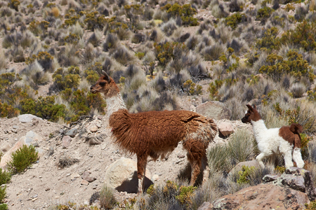 adult offspring: Adult llama (Lama glama) and offspring in Lauca National Park, northern Chile.
