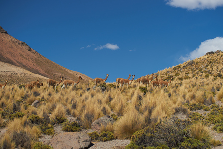 imperious: Group of vicuna (Vicugna vicugna) crossing the altiplano in Lauca National Park, northern Chile Stock Photo