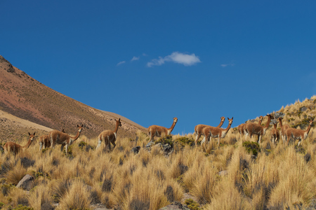 vicuna: Group of vicuna (Vicugna vicugna) crossing the altiplano in Lauca National Park, northern Chile Stock Photo
