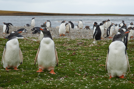 pygoscelis papua: Gentoo Penguins (Pygoscelis papua) in a grassy meadow on Bleaker Island in the Falkland Islands Stock Photo