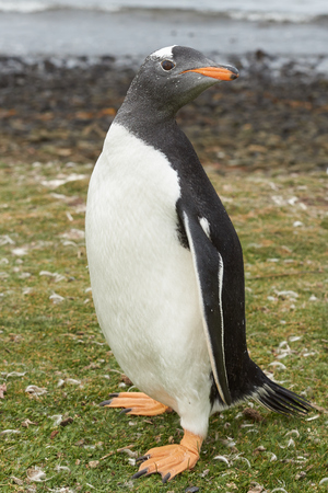 pygoscelis papua: Gentoo Penguin (Pygoscelis papua) standing in a grassy meadow on Bleaker Island in the Falkland Islands