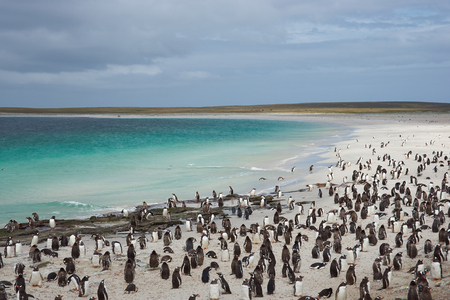 pygoscelis papua: Thousands of Gentoo Penguins (Pygoscelis papua) and Magellanic Penguins (Spheniscus magellanicus) on a large sandy beach on Bleaker Island in the Falkland Islands.