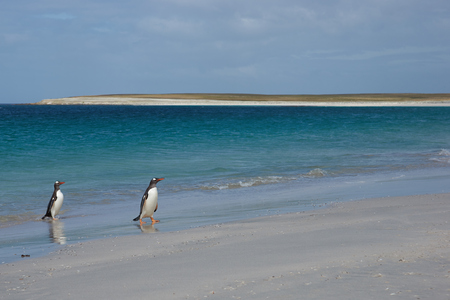 pygoscelis papua: Gentoo Penguins (Pygoscelis papua) emerging from the sea onto a large sandy beach on Bleaker Island in the Falkland Islands. Stock Photo