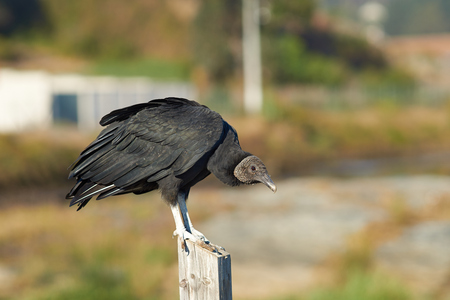 beak vulture: Black Vulture (Coragyps atratus) perching on a post in the small fishing village of Curanipe in the Maule Region of Chile